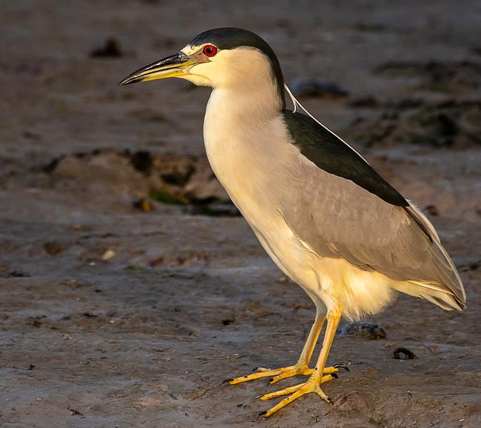 Ding Darling National Wildlife Refuge - Black-crowned Night-Heron