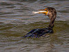 Double-crested Cormorant - Lighthouse Beach - Sanibel, FL