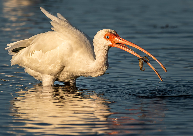 Ding Darling National Wildlife Refuge - White Ibis with Breakfast!