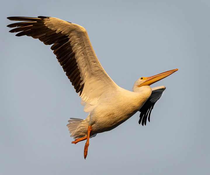Ding Darling National Wildlife Refuge - American White Pelican - Ballet in Flight