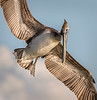 Brown Atlantic Pelican (Adult, Non-breeding) - Lighthouse Beach - Sanibel, FL