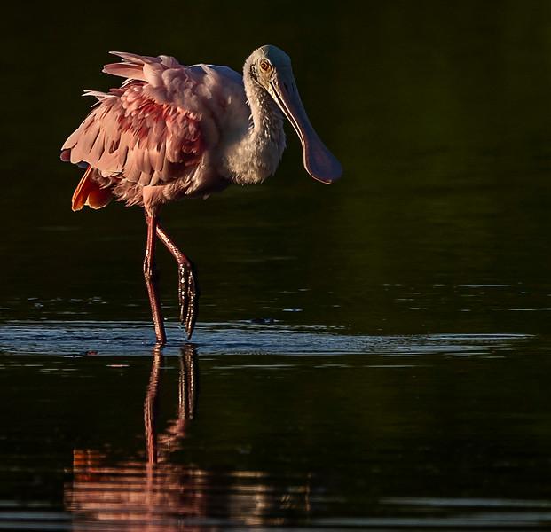 Ding Darling National Wildlife Refuge - Roseate Spoonbill