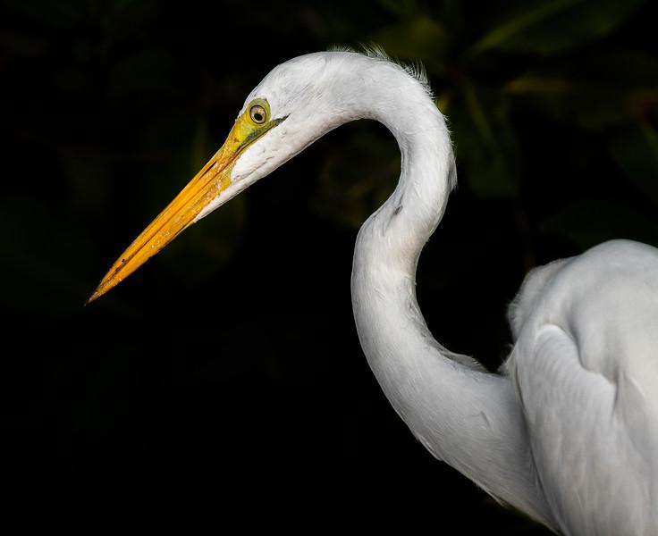 Ding Darling National Wildlife Refuge - Great Egret