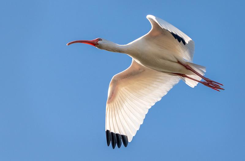 Ding Darling National Wildlife Refuge - White Ibis in flight