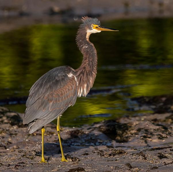 Ding Darling National Wildlife Refuge - Tri-colored Heron