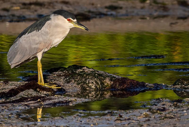 Ding Darling National Wildlife Refuge - Black-crowned Night-Heron comtemplating life