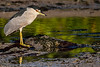 Ding Darling National Wildlife Refuge - Black-crowned Night-Heron comtemplating life