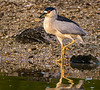 Ding Darling National Wildlife Refuge - Black-crowned Night-Heron