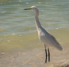 Snowy Egret - West Wind Inn Beach - Sanibel, FL