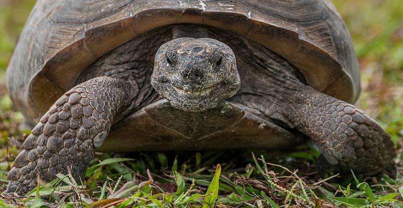 Gopher Tortoise - West Wind Inn - Sanibel, FL