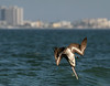 Brown Atlantic Pelican (Juvenile) - Lighthouse Beach - Sanibel, FL