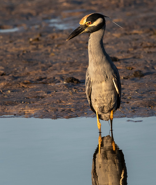 Ding Darling National Wildlife Refuge - Yellow-crowned Night-Heron  with his hair slicked back!