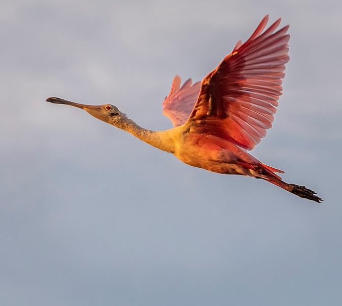 Ding Darling National Wildlife Refuge - Roseate Spoonbill in Flight