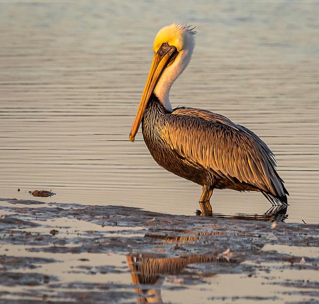 Ding Darling National Wildlife Refuge - Brown Atlantic Pelican (Adult, Non-breeding)