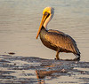 Ding Darling National Wildlife Refuge - Brown Atlantic Pelican (Adult, Non-breeding)