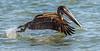 Brown Atlantic Pelican (Adult, Non-breeding) - Lighthouse Beach - Sanibel, FL