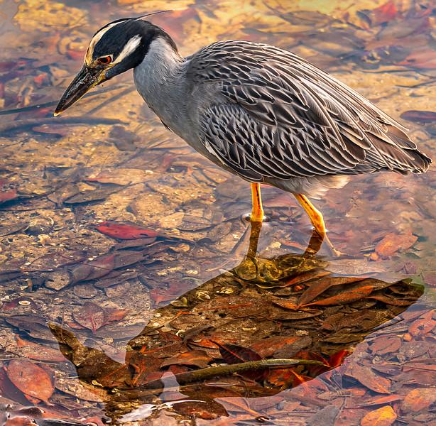 Ding Darling National Wildlife Refuge  - Yellow-crowned Night-Heron