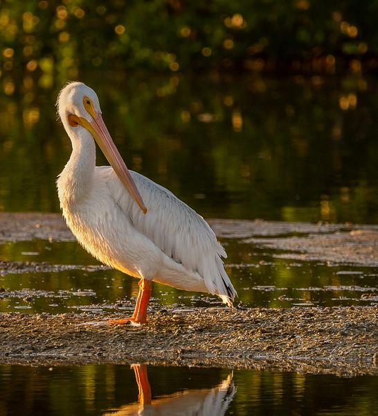 Ding Darling National Wildlife Refuge - American White Pelican