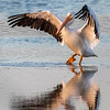 Ding Darling National Wildlife Refuge - American White Pelican tiptoing through the water!