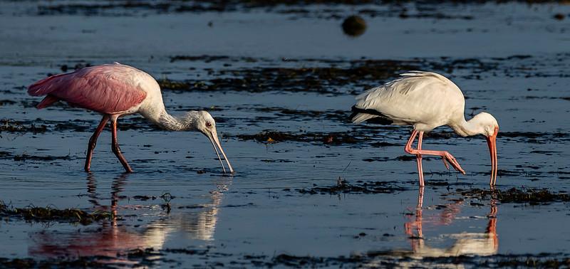 Ding Darling National Wildlife Refuge - Roseate Spoonbill & White Ibis