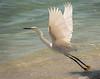 Snowy Egret - West Wind Inn Beach - Sanibel, FL