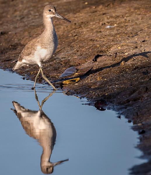 Ding Darling National Wildlife Refuge - Stilt Sandpiper (Adult, Nonbreeding)