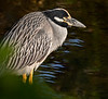 Ding Darling National Wildlife Refuge - Yellow-crowned Night-Heron