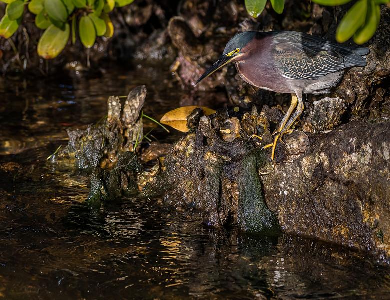 Ding Darling National Wildlife Refuge - Green Heron