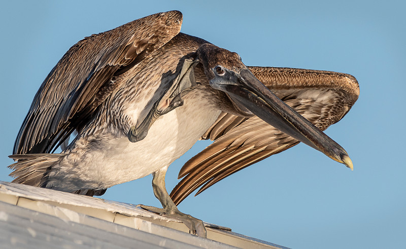 Brown Atlantic Pelican (Juvenile) - Lighthouse Beach, Sanibel, FL