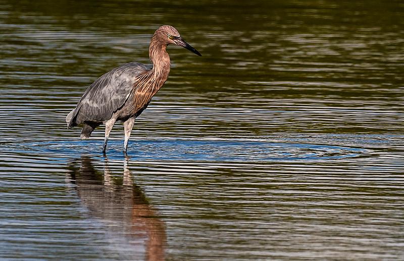 Ding Darling National Wildlife Refuge - Reddish Egret