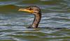 Double-crested Cormorant - Lighthouse Beach - Sanibel, FL