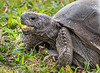 Gopher Tortoise - West Wind Inn - Sanibel, FL