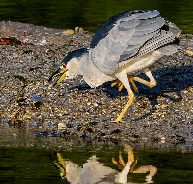 Ding Darling National Wildlife Refuge - Black-crowned Night-Heron about to attack!