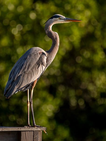 Ding Darling National Wildlife Refuge - Great Blue  Heron