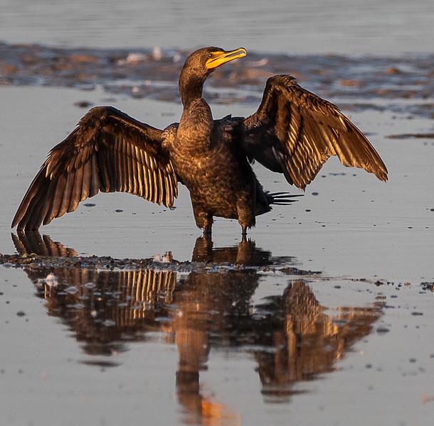 Ding Darling National Wildlife Refuge  - Double-crested Coromorant
