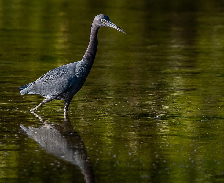 Ding Darling National Wildlife Refuge - Little Blue Heron