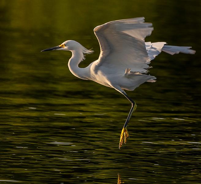 Ding Darling National Wildlife Refuge - Snowy Egret
