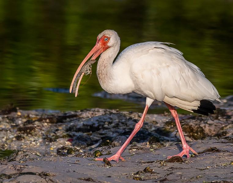 Ding Darling National Wildlife Refuge - White Ibis