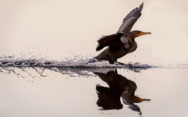 Ding Darling National Wildlife Refuge - Double -crested Cormorant