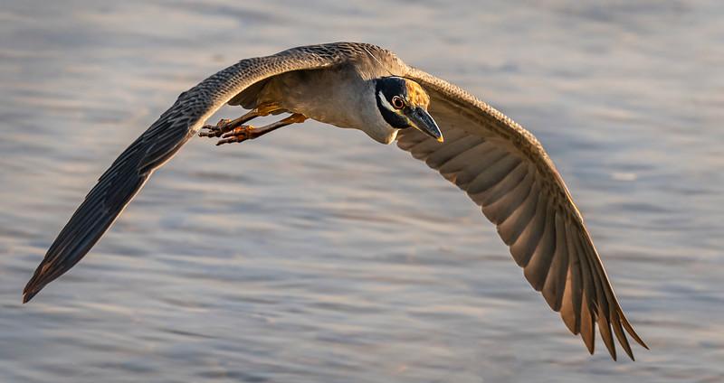 Ding Darling National Wildlife Refuge - Yellow-crowned Night-Heron in flight