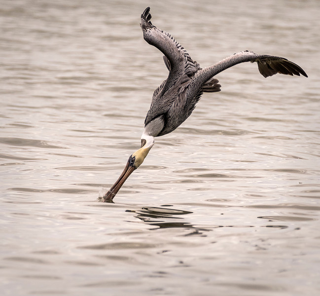 Brown Atlantic Pelican (Adult, Non-breeding) - West Wind Beach - Sanibel, FL