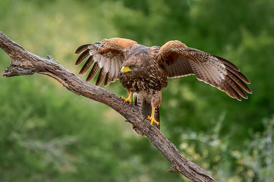Harris' Hawk, juvenile
