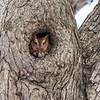Screech Owl 17 Nov 2018-5779