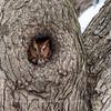 Screech Owl 17 Nov 2018-5773