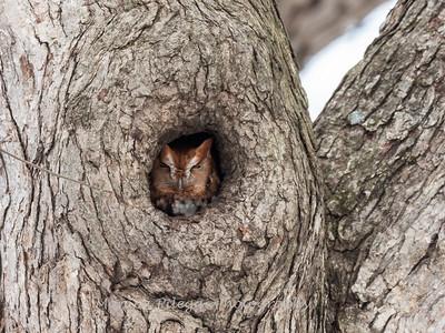 Screech Owl 17 Nov 2018-5730