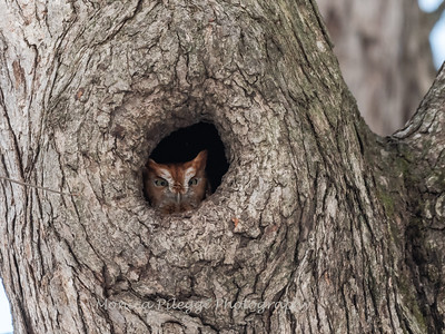 Screech Owl 17 Nov 2018-5697