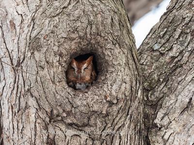 Screech Owl 17 Nov 2018-5733