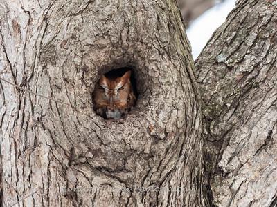 Screech Owl 17 Nov 2018-5732