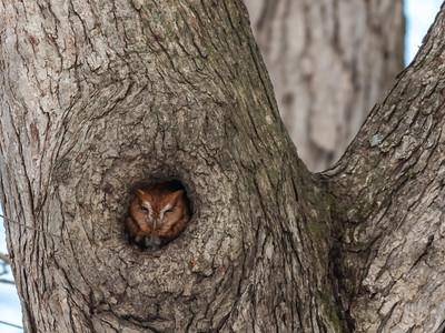 Screech Owl 17 Nov 2018-5680