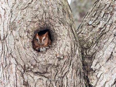 Screech Owl 17 Nov 2018-5802